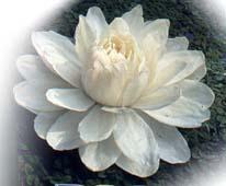 flor_de_lotus_branca